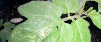 Пятнистость листьев томатов
