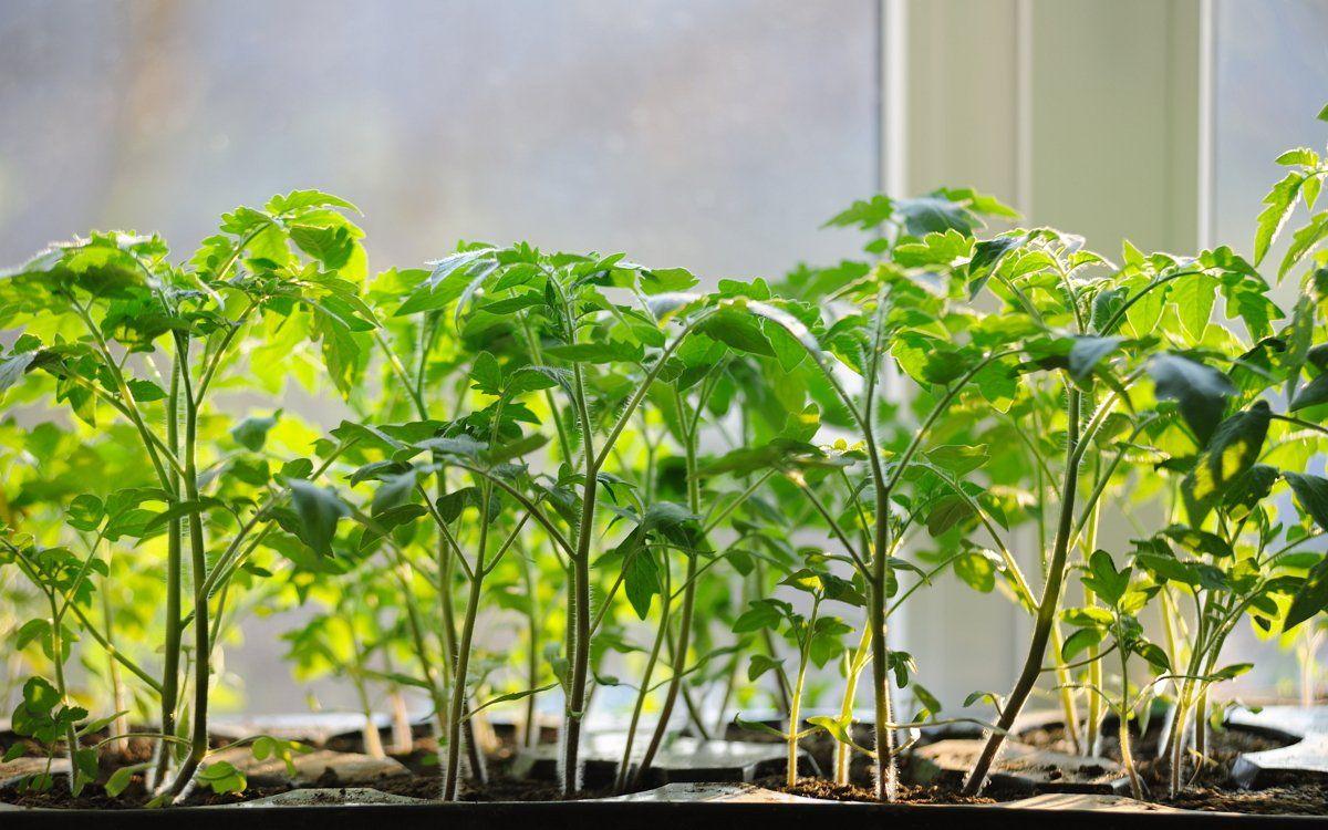 Световой день для рассады томатов как правильно и сколько подсвечивать