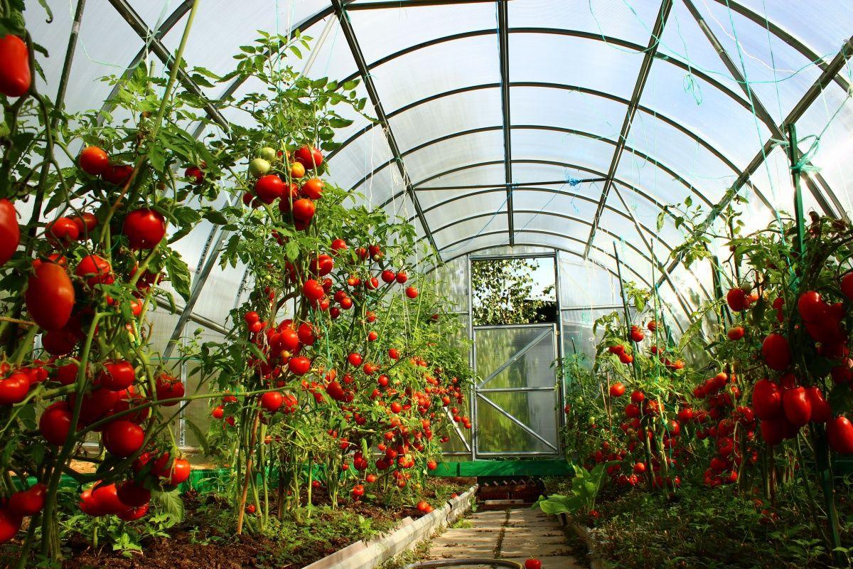 Формирование кустов помидоров в теплице