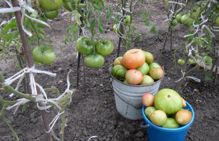 Крупные помидоры в ведрах