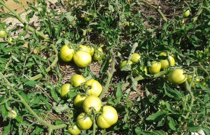 Зеленые помидоры на ветках