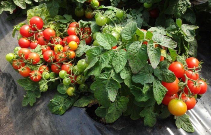 Мульча томатов полиэтиленом