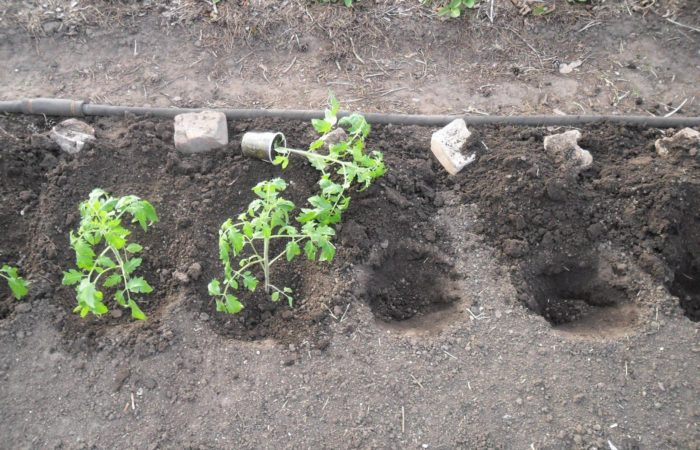 Посадки рассады в грунт