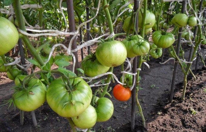 ПОлитые грядки с помидорами