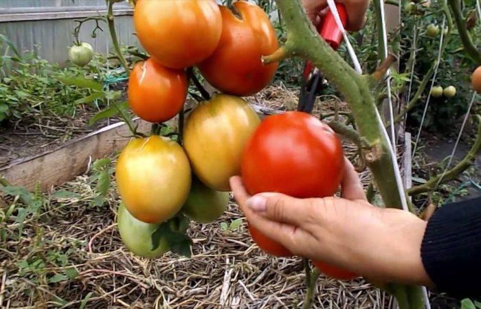 Несколько выращенных помидоров