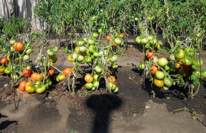 Растущие томаты Бычье сердце