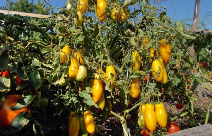 Растущие помидоры Банановые ноги