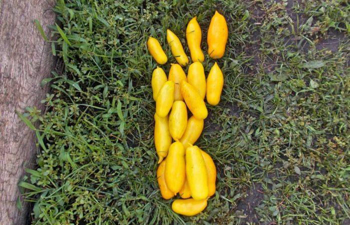 Собранный урожай томатов Банановые ноги