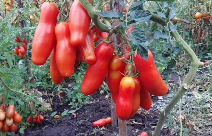 Красные томаты Аурия