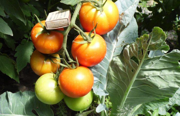 Измерение размера томатов спичечным коробком