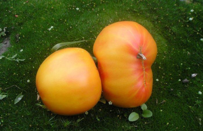 Два помидора Загадка природы