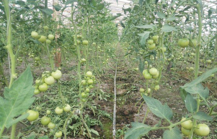 Зеленые помидоры растут по методу Маслова