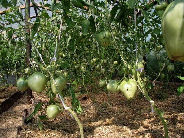 Растущие зеленые помидоры