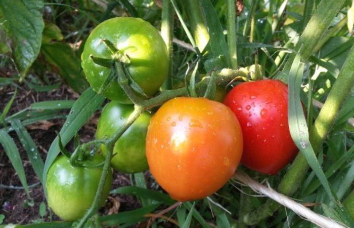 Несколько помидоров на ветке