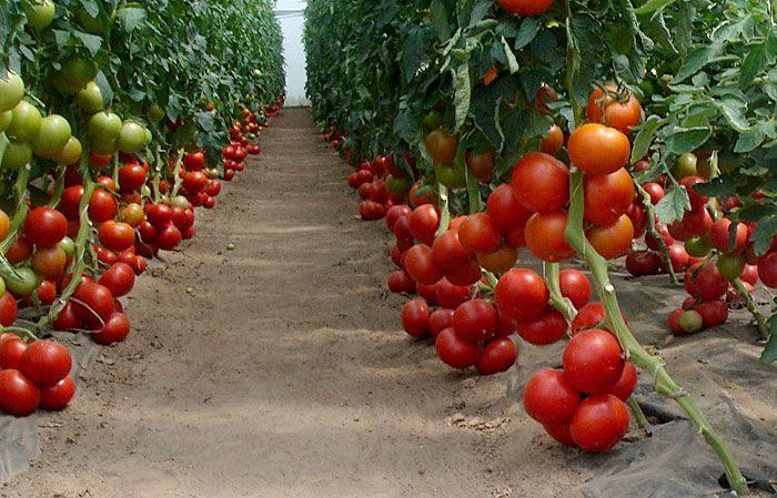 Растущие томаты бобкат