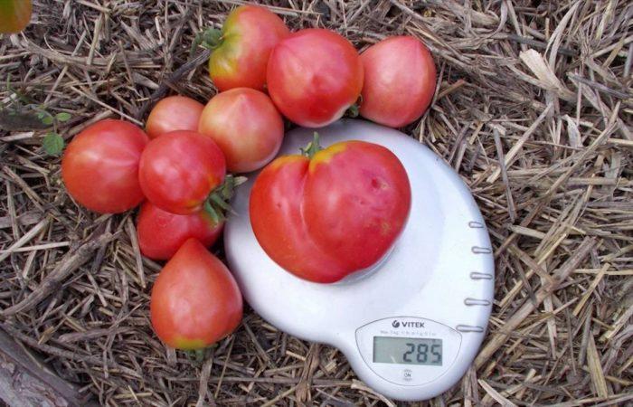 Сорванные помидоры на весах
