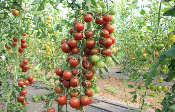 Растущие в теплице томаты Интуиция
