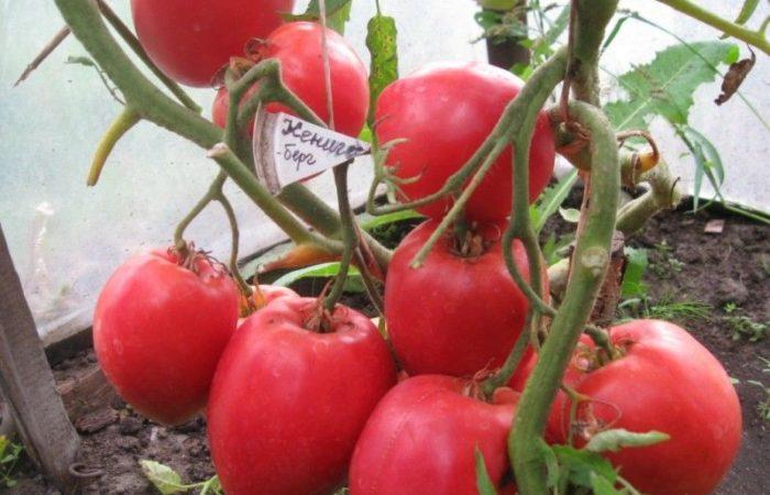 Растущий сорт томатов Конигсберг