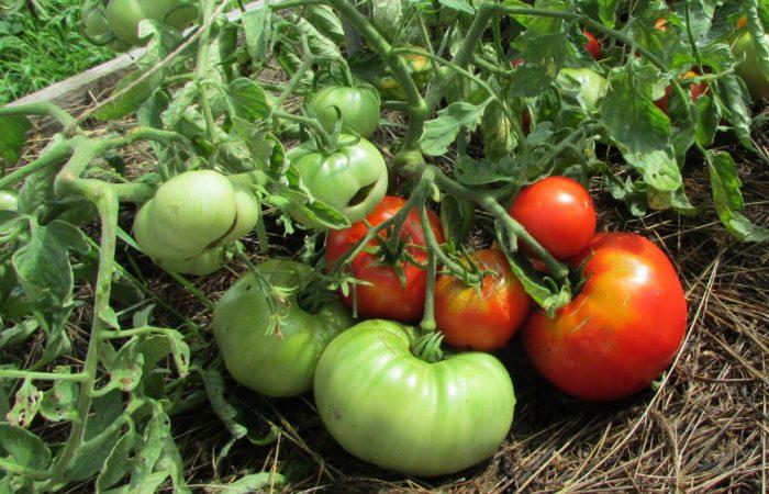Растущие томаты Космонавт Волков