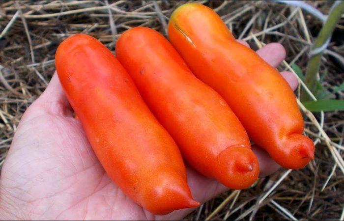 Три помидора Аурия в руке
