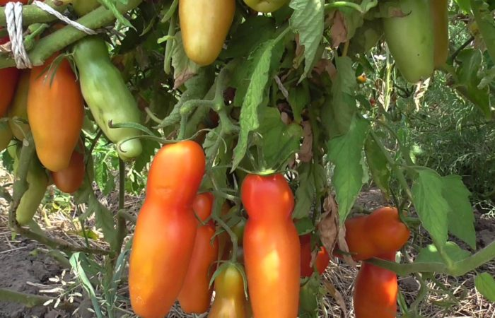 Растущие томаты Аурия