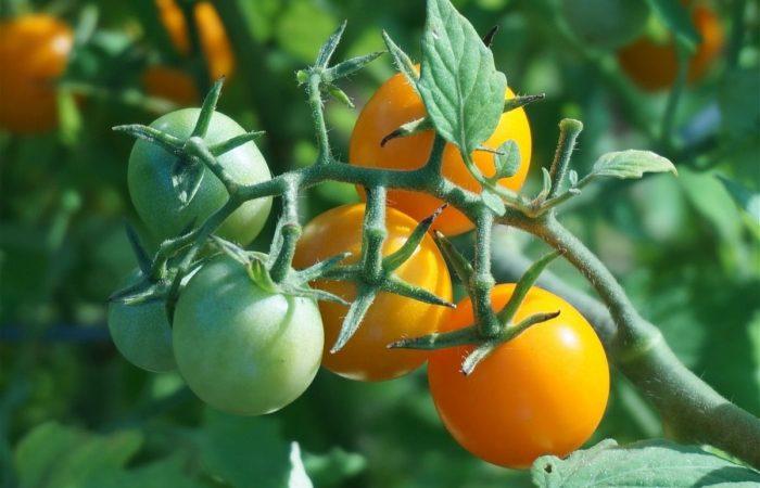 Желтые и зеленые помидоры на ветке