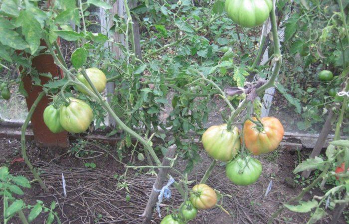 Растущие томаты Сто пудов