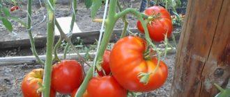 Несколько помидорв на ветке