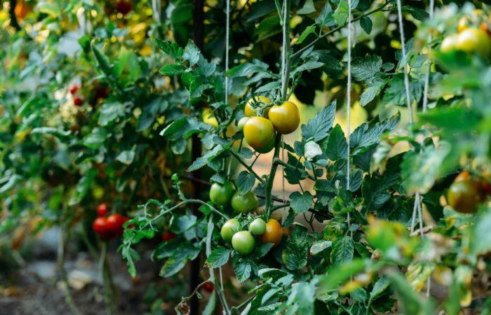 Ветки томатов