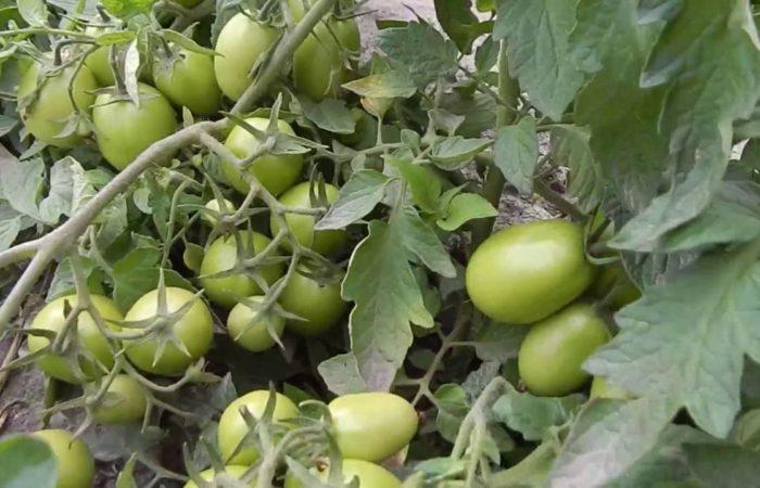 Ветки с зелеными помидорами