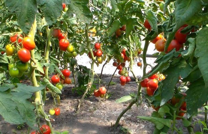 Красные и желтые томаты на ветках