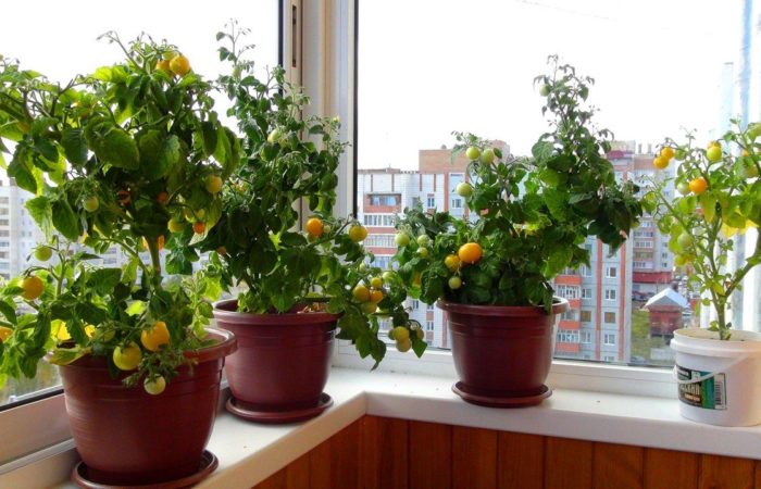 Помидоры в горшках на балконе