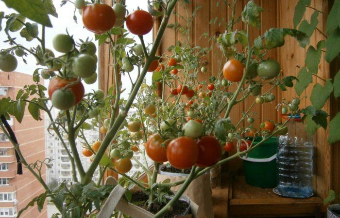 Балконные помидоры в горшках