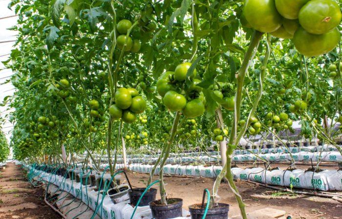 ПОдвязанные кусты томатов