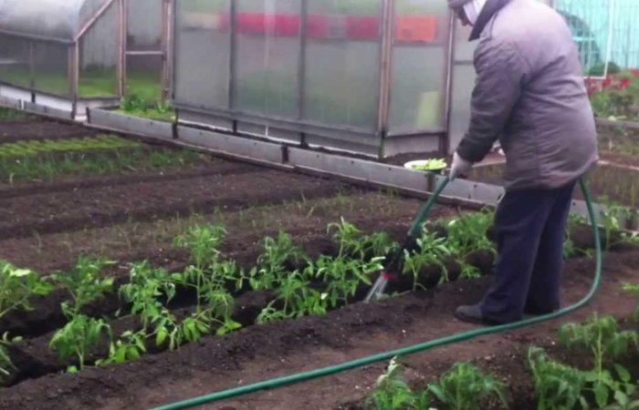 Полив томатной рассады
