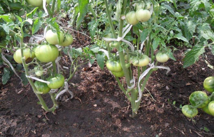 Кусты с зелеными помидорами
