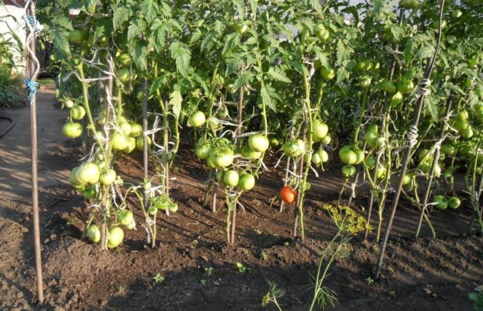 Грядки с томатными кустами