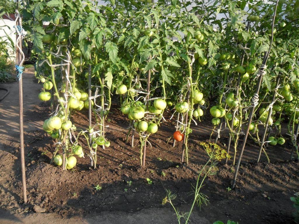 Расстояние между кустами томатов при посадке