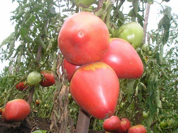 Несколько томатов сорта Алсу на ветках