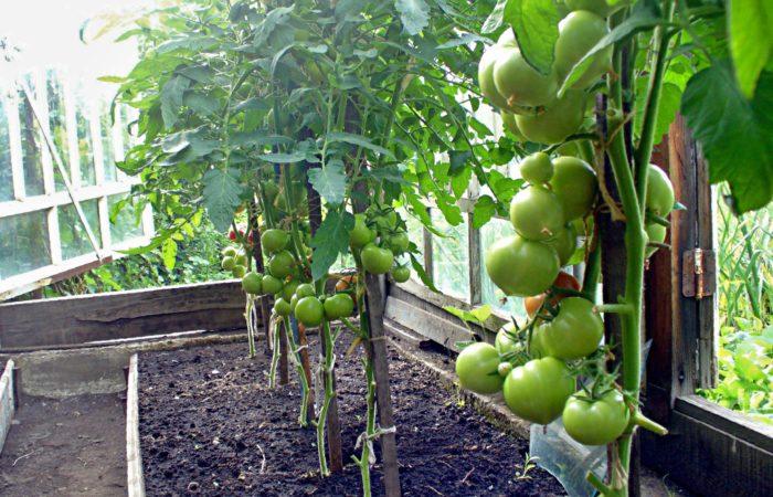 Зеленые подвязанные томаты