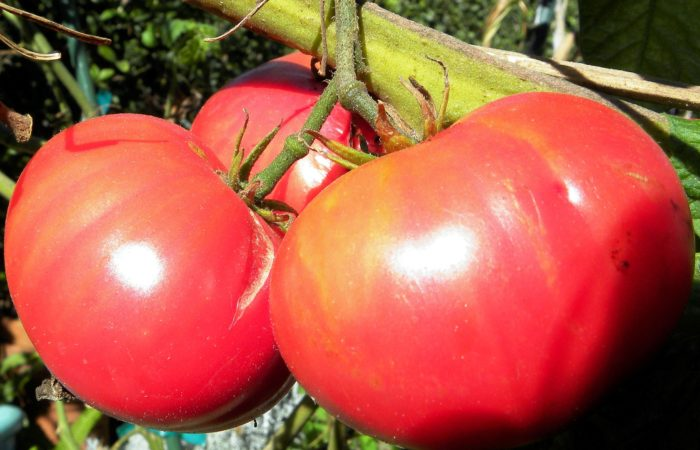 Три помидора Абаканский розовый