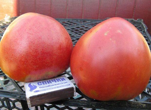 Два томата Абаканский с коробком для сравнения