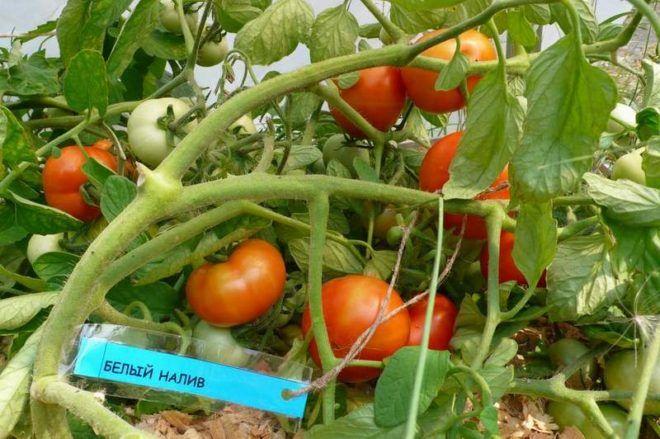 Растущие помидоры Белый налив