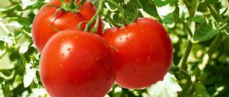 Три помидора сорта Верлиока