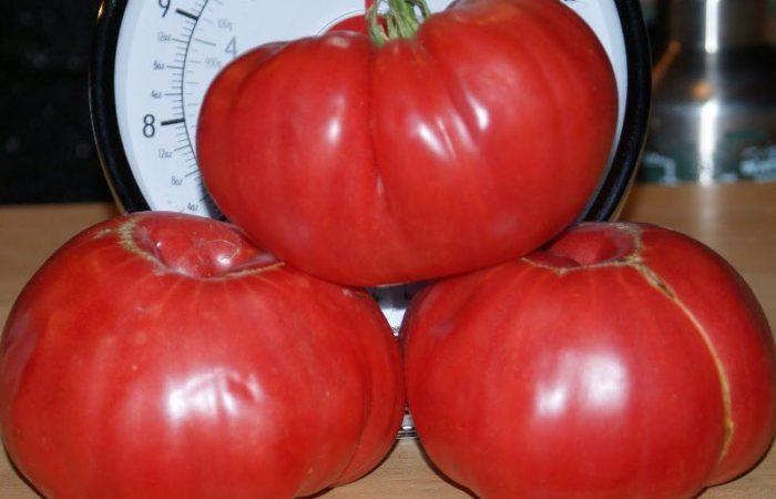 Три помидора сорта Сахарный пудовичок