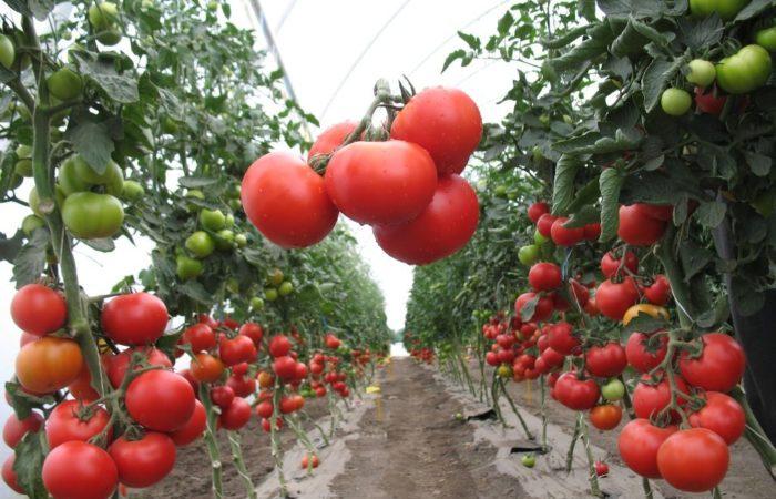 Созревшие помидоры сорта Верлиока