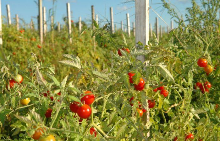 Растущие подвязанные томаты