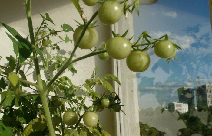 Зеленые помидоры растут на балконе