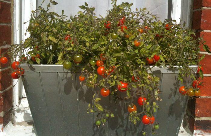 Куст помидора в горшке на балконе