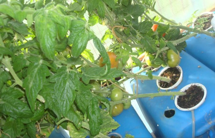 Зеленые томатные кусты на гидропонике
